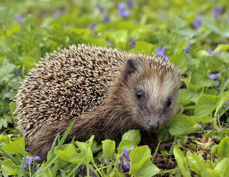 Erinaceus European hedgehog Wikipedia