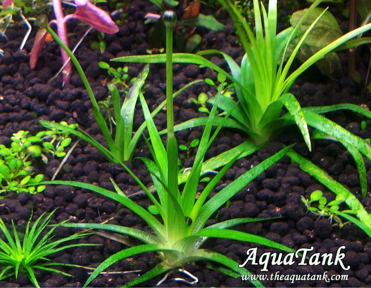 Eriocaulon parkeri Eriocaulon Parkeri aquarium plant AquaTank Rare Aquarium Plants