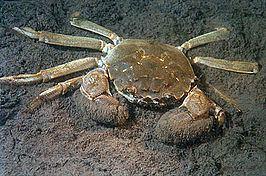 Eriocheir httpsuploadwikimediaorgwikipediacommonsthu