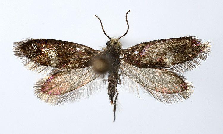 Eriocrania unimaculella httpsuploadwikimediaorgwikipediacommonsbb