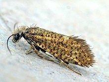 Eriocraniidae httpsuploadwikimediaorgwikipediacommonsthu