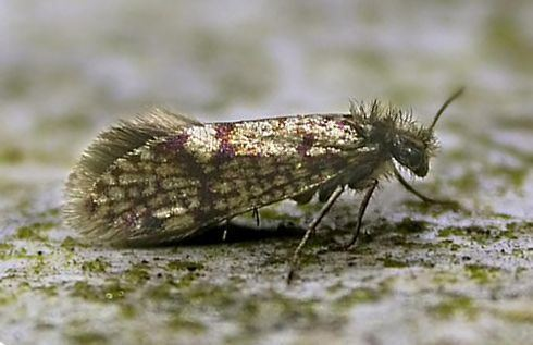 Eriocraniidae Hants Moths Micropterigidae to Eriocraniidae