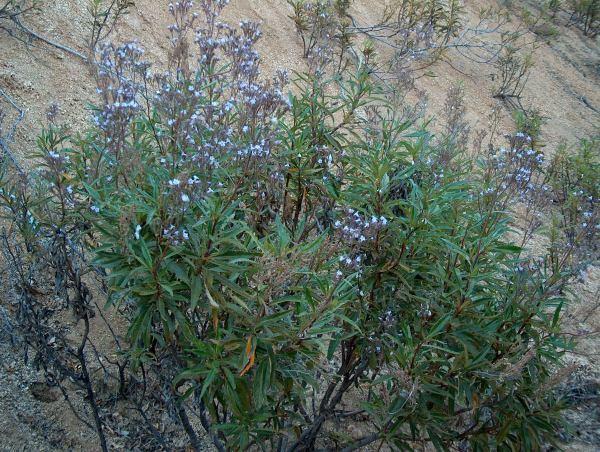 Eriodictyon californicum Eriodictyon californicum Yerba Santa