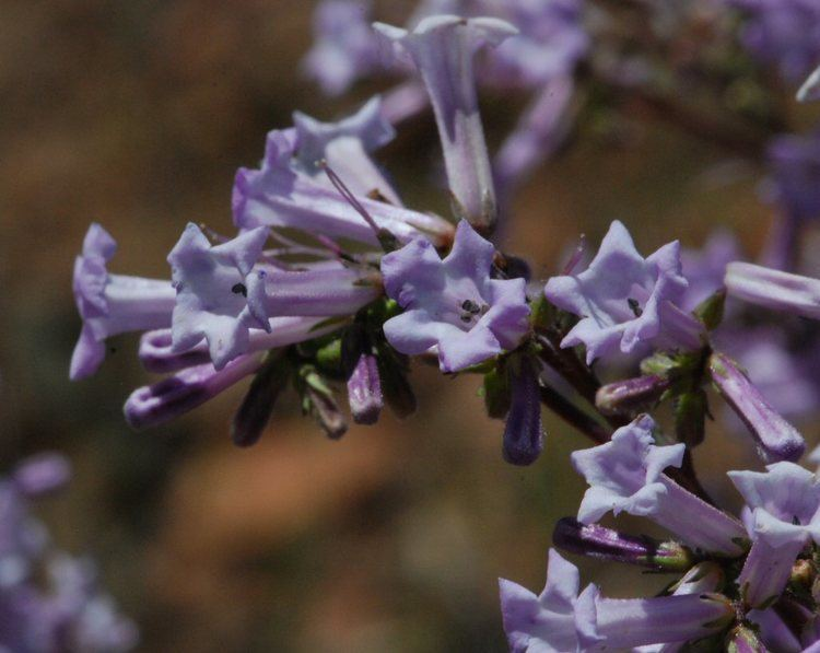 Eriodictyon californicum Eriodictyon californicum NutraWiki