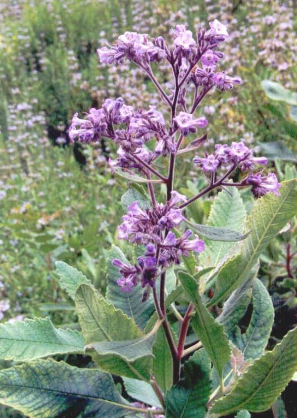 Eriodictyon californicum Yerba Santa Eriodictyon Californicum Overview Health Benefits