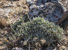 Eriogonum callistum httpsuploadwikimediaorgwikipediacommonsthu