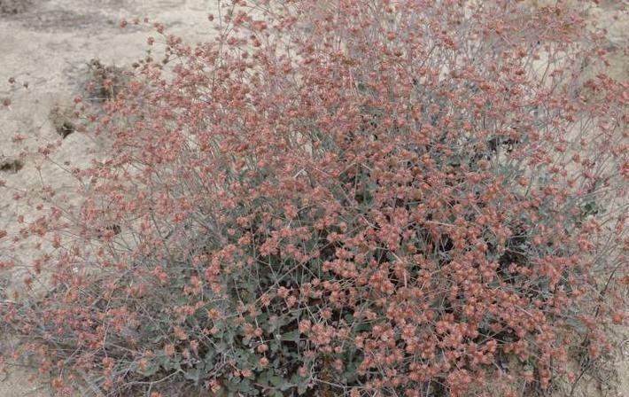 Eriogonum cinereum wwwlaspilitascomimagesgrid241811596imagesp