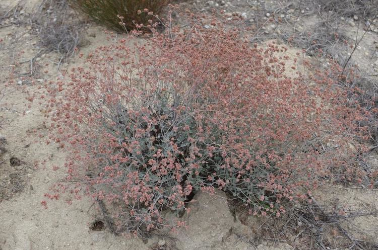 Eriogonum cinereum Eriogonum cinereum Ashyleaf buckwheat