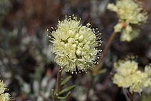 Eriogonum douglasii httpsuploadwikimediaorgwikipediacommonsthu