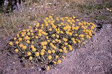 Eriogonum flavum httpsuploadwikimediaorgwikipediacommonsthu