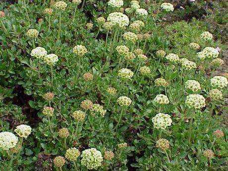 Eriogonum heracleoides Eriogonum heracleoides whorled buckwheat