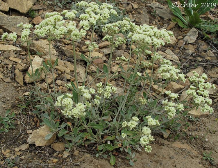 Eriogonum heracleoides Buckwheat Parsnipflower Buckwheat Parsnipflower Buckwheat