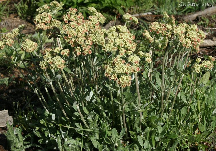 Eriogonum heracleoides Buckwheats The Genus Eriogonum East of the Cascade Mts of Oregon