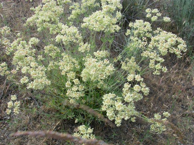 Eriogonum heracleoides Eriogonum heracleoides