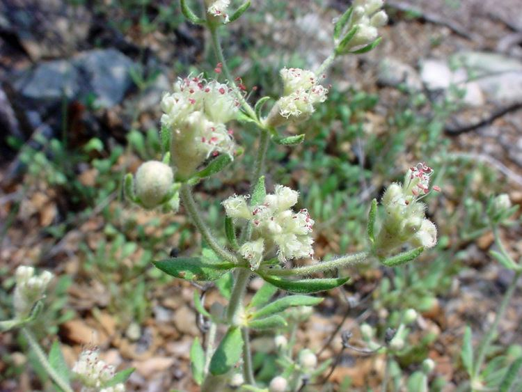 Eriogonum jamesii Vascular Plants of the Gila Wilderness Eriogonum jamesii