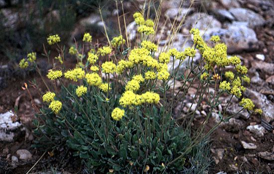 Eriogonum jamesii Eriogonum as a Rock Garden Plant