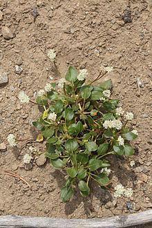 Eriogonum pyrolifolium httpsuploadwikimediaorgwikipediacommonsthu