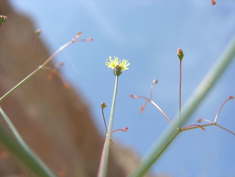 Eriogonum thomasii
