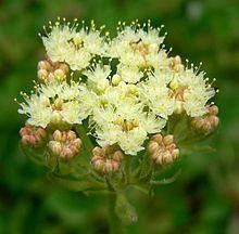 Eriogonum ursinum httpsuploadwikimediaorgwikipediacommonsthu