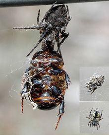 Eriophora pustulosa httpsuploadwikimediaorgwikipediacommonsthu