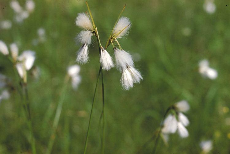 Eriophorum gracile httpsnewfss3amazonawscomtaxonimages1000s1
