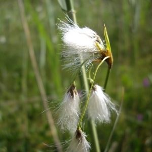 Eriophorum gracile Eriophorum gracile