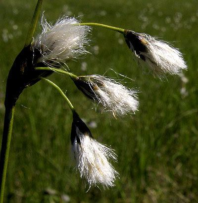 Eriophorum gracile Eriophorum gracile Slender cottongrass Schlankes Wollgras Krrull