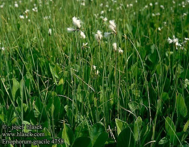 Eriophorum gracile Eriophorum gracile Slender Cottongrass Fin Karuld Hoikkavilla
