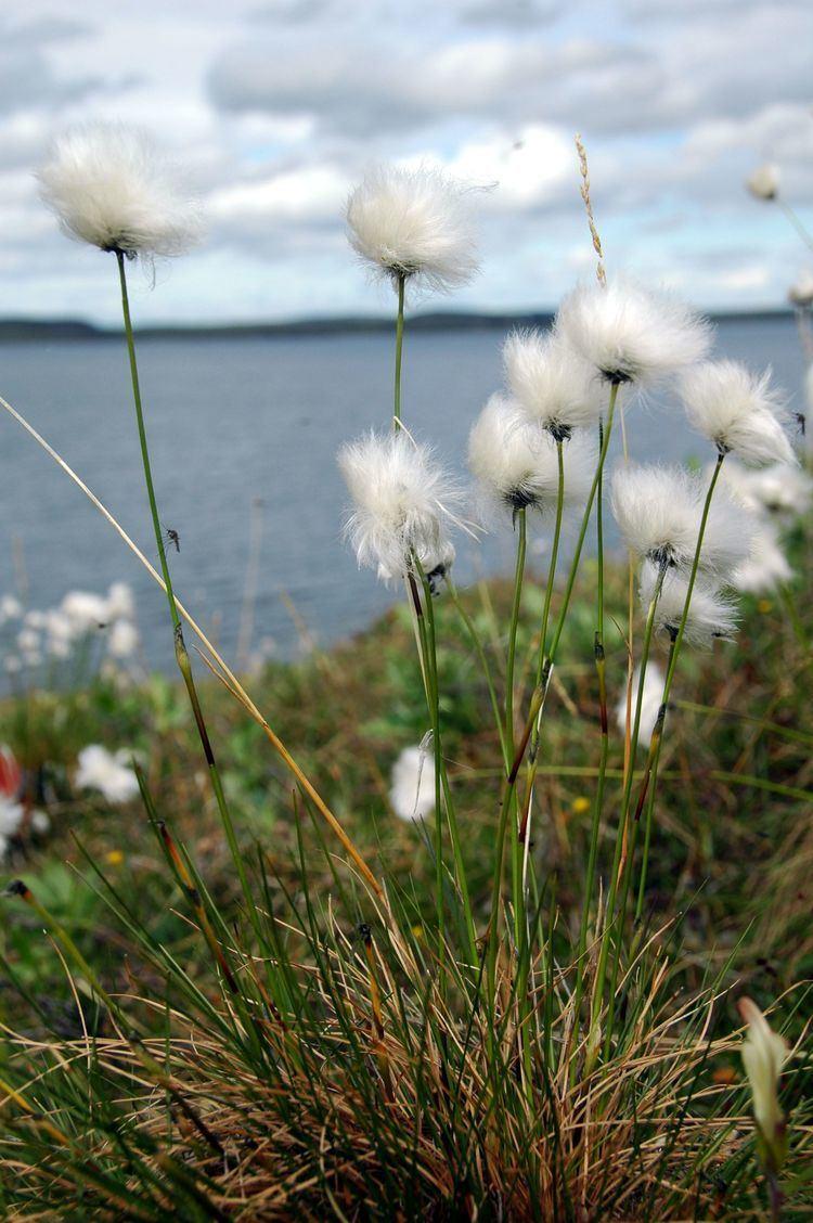 Eriophorum vaginatum Classification Arctic Flora of Canada and Alaska