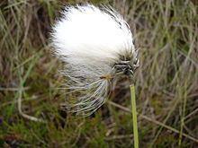 Eriophorum vaginatum httpsuploadwikimediaorgwikipediacommonsthu