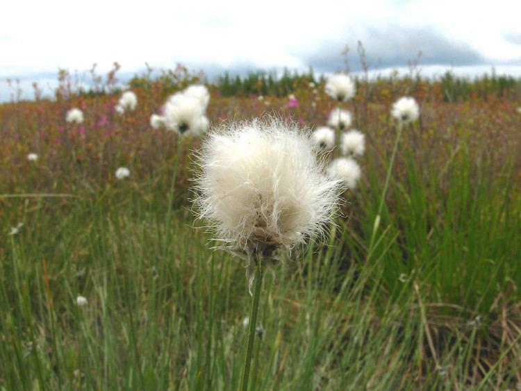 Eriophorum vaginatum Eriophorum vaginatum tussock cottonsedge Go Botany