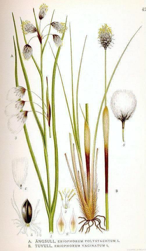 Eriophorum vaginatum Eriophorum vaginatum Hare39stail cottongrass Tussock cottongrass