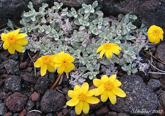 Eriophyllum Woolly Sunflower Oregon Sunshine The Genus Eriophyllum in the