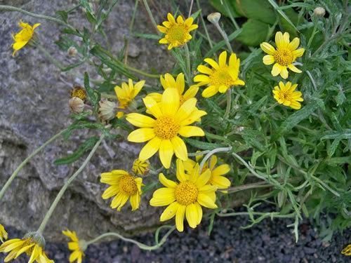 Eriophyllum Eriophyllum Oregon Sunshine