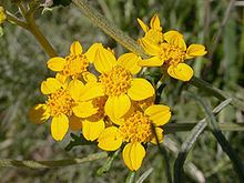 Eriophyllum httpsuploadwikimediaorgwikipediacommonsthu