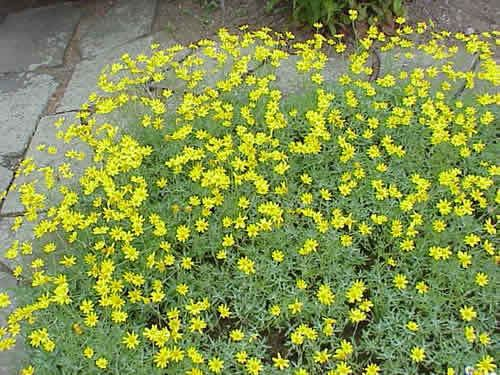 Eriophyllum lanatum Eriophyllum Oregon Sunshine