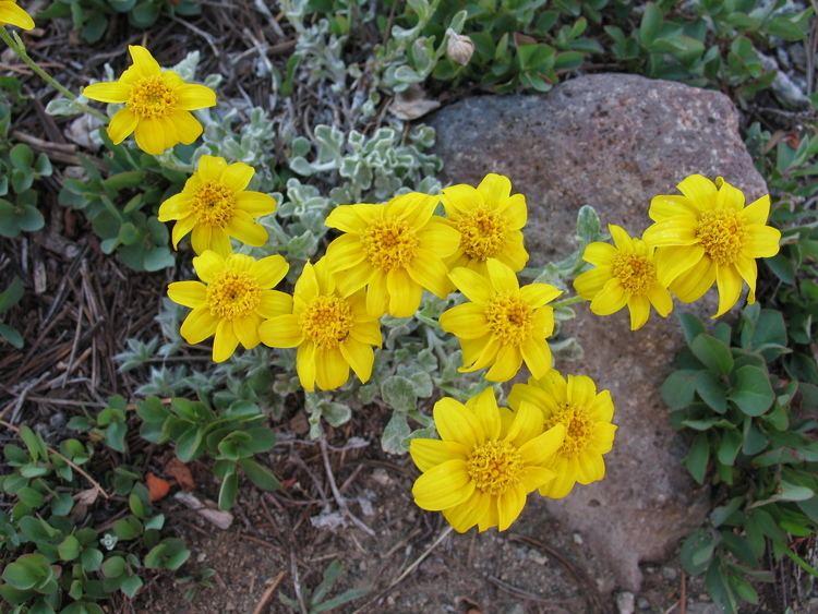 Eriophyllum lanatum Eriophyllum lanatum var integrifolium Wooly Sunflower Photos