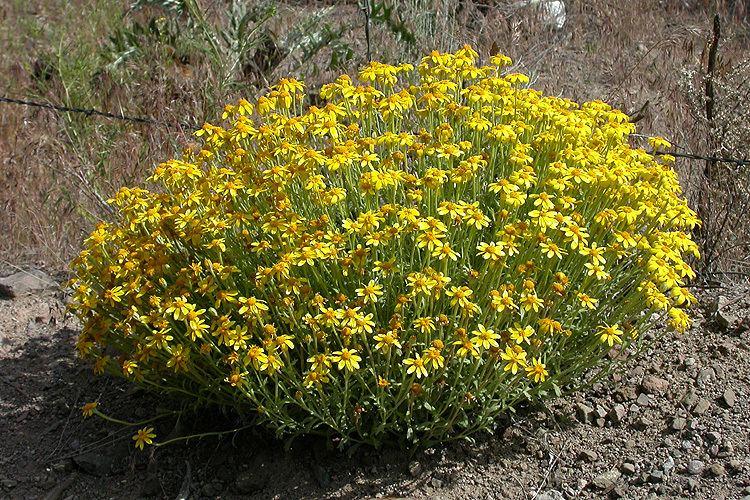 Eriophyllum lanatum CalPhotos