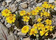 Eriophyllum wallacei Eriophyllum wallacei Wikipedia