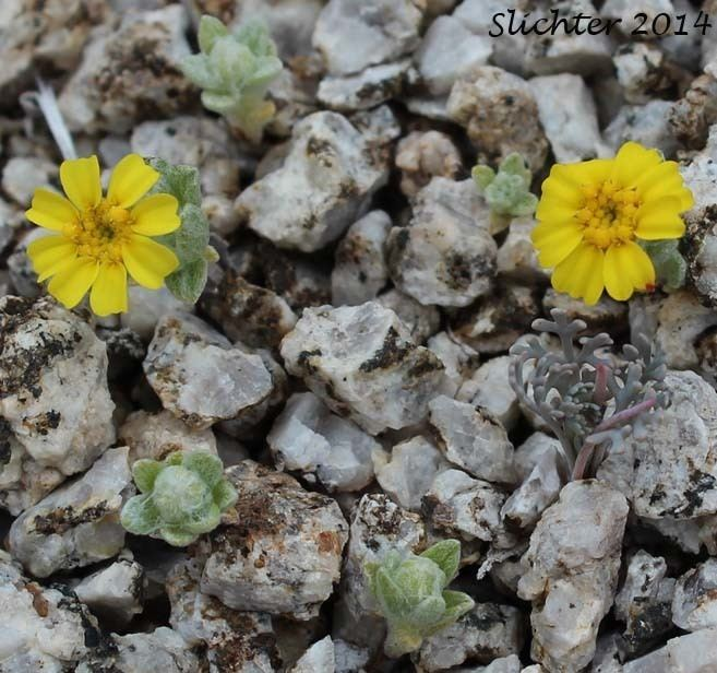 Eriophyllum wallacei Wallace39s Woolly Daisy Wallace Eriophyllum Eriophyllum wallacei