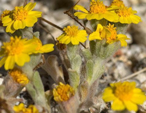 Eriophyllum wallacei Wallace39s Woolly Daisy Eriophyllum wallacei