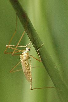 Erioptera httpsuploadwikimediaorgwikipediacommonsthu