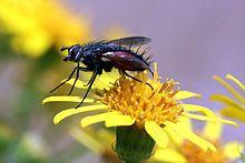 Eriothrix rufomaculata httpsuploadwikimediaorgwikipediacommonsthu