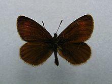 Eriphyle ringlet httpsuploadwikimediaorgwikipediacommonsthu