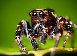 Eris (spider) httpsuploadwikimediaorgwikipediacommonsthu