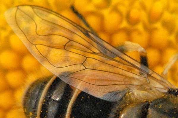Eristalinae Syrphidae Wings Eristalinae Eristalini