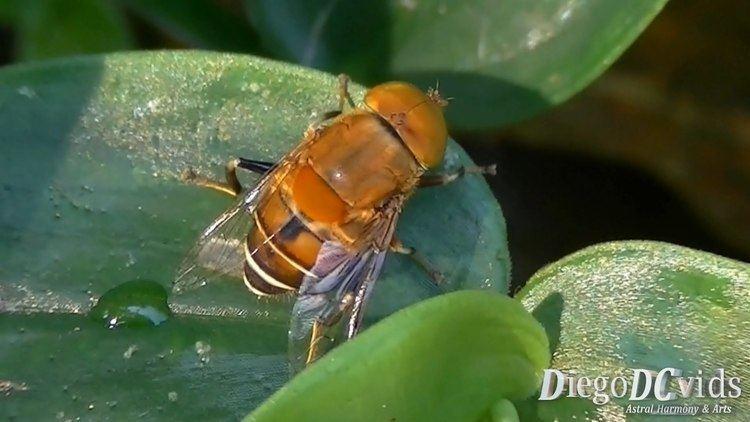 Eristalinae Palpada sp Hoverfly syrphid flies Syrphidae Eristalinae