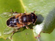 Eristalis httpsuploadwikimediaorgwikipediacommonsthu