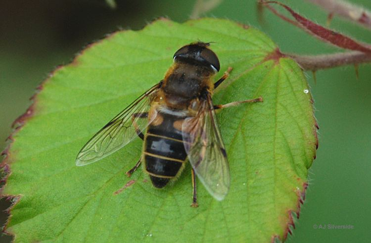 Eristalis Eristalis pertinax images of British biodiversity