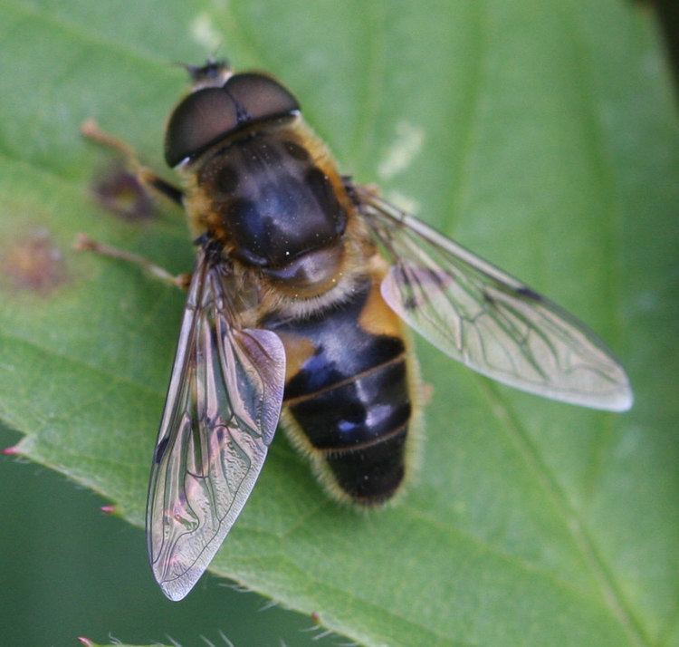 Eristalis Tapered Drone Fly Eristalis pertinax NatureSpot